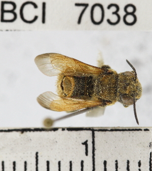 (Megachile sp. 1YB - YB-BCI7038)  @11 [ ] No Rights Reserved (2011) Yves Basset Smithsonian Tropical Research Institute