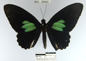 (Parides sesostris - YB-BCI26522)  @11 [ ] No Rights Reserved  Unspecified Unspecified