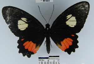 (Parides sesostris - YB-BCI46572)  @11 [ ] No Rights Reserved  Unspecified Unspecified