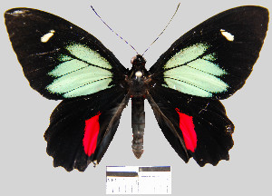 (Parides childrenae childrenae - YB-BCI10951)  @14 [ ] No Rights Reserved  Unspecified Unspecified