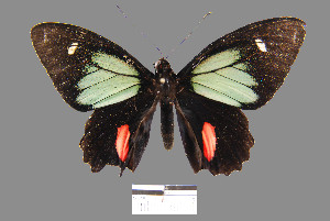 (Parides childrenae - YB-BCI2698)  @14 [ ] No Rights Reserved  Unspecified Unspecified