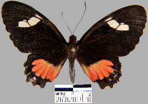 (Parides erithalion smalli - YB-BCI18957)  @14 [ ] No Rights Reserved  Unspecified Unspecified