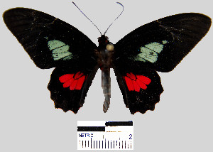 (Parides eurimedes mycale - YB-BCI7751)  @14 [ ] No Rights Reserved  Unspecified Unspecified