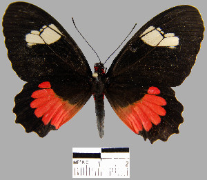 (Parides erithalion - YB-BCI12808)  @14 [ ] No Rights Reserved  Unspecified Unspecified