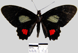 (Parides erithalion sadyattes - YB-BCI6244)  @14 [ ] No Rights Reserved  Unspecified Unspecified