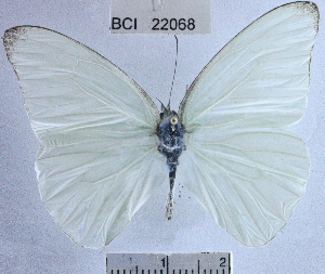 (Glutophrissa drusilla tenuis - YB-BCI22068)  @15 [ ] No Rights Reserved (2011) Unspecified Unspecified