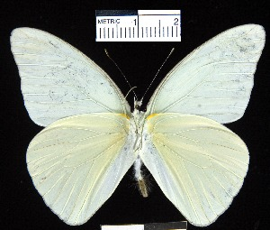 (Glutophrissa drusilla tenuis - YB-BCI4283)  @15 [ ] No Rights Reserved  Unspecified Unspecified