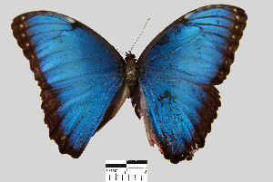 (Morpho helenor peleides - YB-BCI2721)  @14 [ ] No Rights Reserved  Unspecified Unspecified