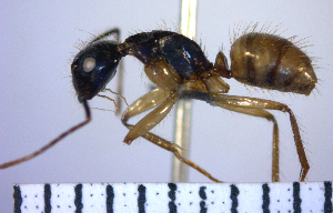 (Camponotus ANTCNP_sp3 - YB-BCI64472)  @11 [ ] No Rights Reserved  Unspecified Unspecified