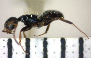 (Camponotus sanctaefidei - YB-BCI64527)  @13 [ ] No Rights Reserved  Unspecified Unspecified
