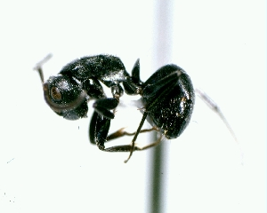 (Camponotus sp5 - MEKOU012600)  @13 [ ] Creative Commons (2013) David A. Donoso UTPL