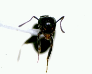 (Camponotus sp - YB-DD1071BC)  @12 [ ] No Rights Reserved  Unspecified Unspecified