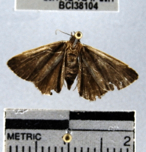(Noctuidae_incertae_sedis - YB-BCI38104)  @12 [ ] No Rights Reserved  Unspecified Unspecified