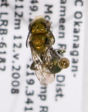 (Osmia exigua - LRBBC1336)  @13 [ ] by-nc-sa - Creative Commons - Attribution Non-Comm Share-Alike (2009) L.R.Best York University