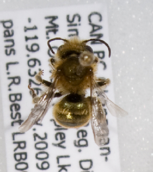 (Osmia claremontensis - LRBBC1347)  @13 [ ] CreativeCommons - Attribution Non-Commercial Share-Alike (2009) L.R.Best York University