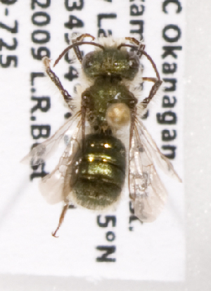 (Osmia bakeri - LRBBC1379)  @13 [ ] CreativeCommons - Attribution Non-Commercial Share-Alike (2009) L.R.Best York University