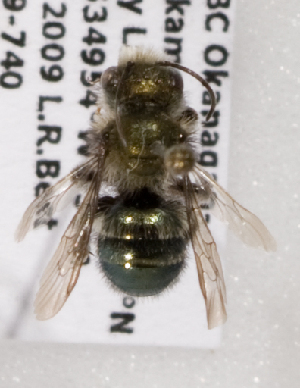 (Osmia pikei - LRBBC1381)  @13 [ ] CreativeCommons - Attribution Non-Commercial Share-Alike (2009) L.R.Best York University