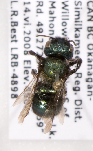 (Osmia caraformis - LRBBC1422)  @13 [ ] CreativeCommons - Attribution Non-Commercial Share-Alike (2009) L.R.Best York University