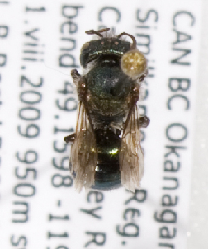 (Osmia pusilla - LRBBC1453)  @13 [ ] CreativeCommons - Attribution Non-Commercial Share-Alike (2009) L.R.Best York University