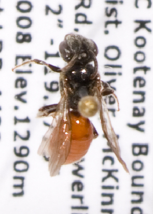 (Sphecodes bc8 - LRBBC1713)  @13 [ ] CreativeCommons - Attribution Non-Commercial Share-Alike (2010) L.R.Best York University
