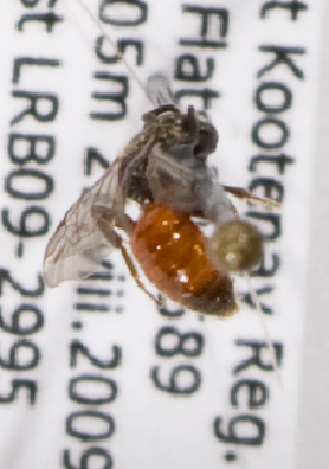 (Sphecodes BC02 - LRBBC1715)  @13 [ ] by-nc-sa - Creative Commons - Attribution Non-Comm Share-Alike (2010) L.R.Best York University