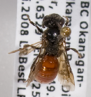 (Sphecodes bc10 - LRBBC1721)  @13 [ ] by-nc-sa - Creative Commons - Attribution Non-Comm Share-Alike (2010) L.R.Best York University