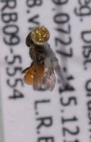 (Sphecodes BC01 - LRBBC2157)  @13 [ ] by-nc-sa - Creative Commons - Attribution Non-Comm Share-Alike (2009) L.R.Best York University