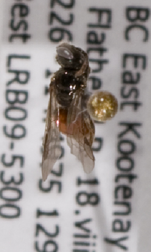 (Sphecodes nr. solonis - LRBBC2644)  @12 [ ] by-nc-sa - Creative Commons - Attribution Non-Comm Share-Alike (2009) L.R.Best York University