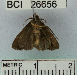 (Noctuidae sp. 7YB - YB-BCI26656)  @13 [ ] No Rights Reserved  Unspecified Unspecified