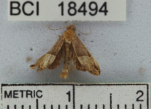 (Noctuidae sp. 9YB - YB-BCI18494)  @13 [ ] No Rights Reserved  Unspecified Unspecified