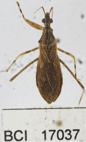(Reduviidae sp.1YB - YB-BCI17037)  @13 [ ] No Rights Reserved  Unspecified Unspecified