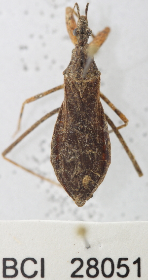 (Reduviidae sp.1YB - YB-BCI28051)  @13 [ ] No Rights Reserved  Unspecified Unspecified