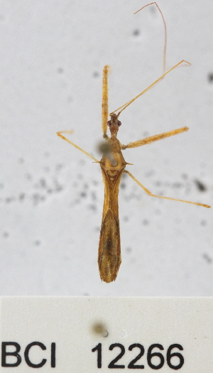 (Reduviidae sp.6YB - YB-BCI12266)  @11 [ ] No Rights Reserved  Unspecified Unspecified