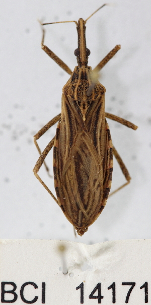 (Reduviidae sp.7YB - YB-BCI14171)  @13 [ ] No Rights Reserved  Unspecified Unspecified