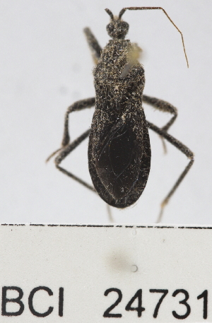 (Reduviidae sp.17YB - YB-BCI24731)  @11 [ ] No Rights Reserved  Unspecified Unspecified