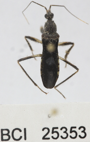 (Reduviidae sp.18YB - YB-BCI25353)  @12 [ ] No Rights Reserved  Unspecified Unspecified