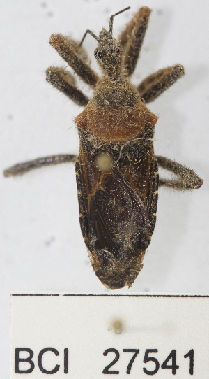 (Reduviidae sp.19YB - YB-BCI27541)  @11 [ ] No Rights Reserved  Unspecified Unspecified