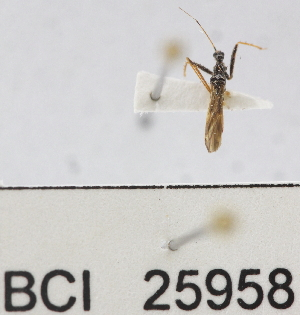 (Reduviidae sp.23YB - YB-BCI25958)  @11 [ ] No Rights Reserved  Unspecified Unspecified