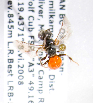 (Sphecodes bc10 - LRBBC537)  @13 [ ] CreativeCommons - Attribution Non-Commercial Share-Alike (2010) Packer Collection at York University York University