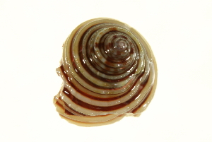 (Calliostoma - 10BCMOL-00114)  @14 [ ] Unspecified (default): All Rights Reserved  Unspecified Unspecified