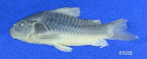 ( - LBPV 61025)  @11 [ ] CreativeCommons - Attribution (2013) Claudio de Oliveira Laboratório de Biologia e Genética de Peixes - UNESP - Botucatu