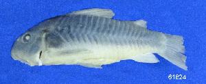 ( - LBPV 61824)  @12 [ ] CreativeCommons - Attribution (2013) Claudio de Oliveira Laboratório de Biologia e Genética de Peixes - UNESP - Botucatu