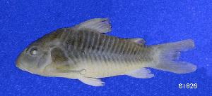 ( - LBPV 61826)  @14 [ ] CreativeCommons - Attribution (2013) Claudio de Oliveira Laboratório de Biologia e Genética de Peixes - UNESP - Botucatu
