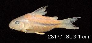 ( - LBPV 28177)  @11 [ ] CreativeCommons - Attribution (2013) Claudio de Oliveira Laboratório de Biologia e Genética de Peixes - UNESP - Botucatu