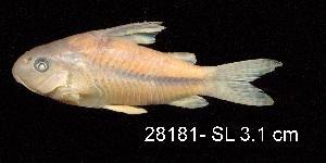 ( - LBPV 28181)  @11 [ ] CreativeCommons - Attribution (2013) Claudio de Oliveira Laboratório de Biologia e Genética de Peixes - UNESP - Botucatu