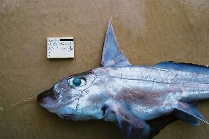 (Chimaera argiloba - BPS-0302)  @11 [ ] Copyright (2002) Samuel P. Iglesias Museum national d'Histoire naturelle