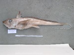 (Chimaera sp - BPS-0693)  @13 [ ] Copyright (2004) Samuel P. Iglesias Museum national d'Histoire naturelle
