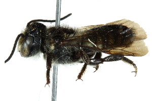 (Megachile decemsignata - 06711F09-KEN)  @15 [ ] CreativeCommons - Attribution Non-Commercial Share-Alike (2016) BIO Photography Group Biodiversity Institute of Ontario
