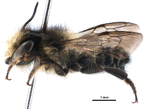 (Megachile KEN16 - 06711F12-KEN)  @14 [ ] CreativeCommons - Attribution Non-Commercial Share-Alike (2016) BIO Photography Group Biodiversity Institute of Ontario