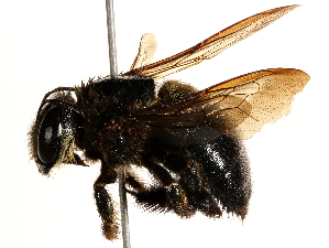 (Xylocopa senior - 06737E08-KEN)  @14 [ ] CreativeCommons - Attribution Non-Commercial Share-Alike (2016) CBG Photography Group Centre for Biodiversity Genomics